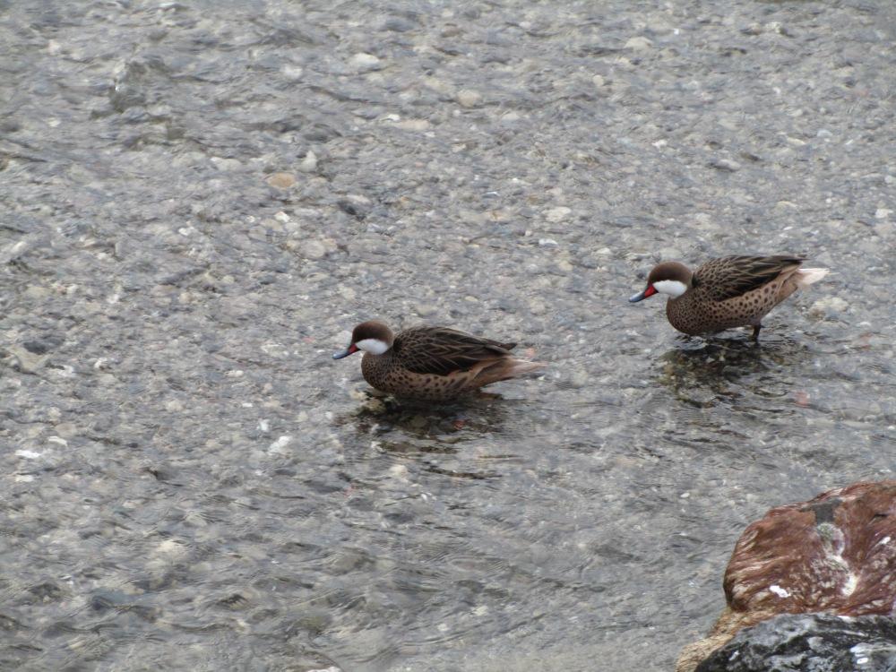 Recencement des oiseaux d'eau hivernants (2/6)